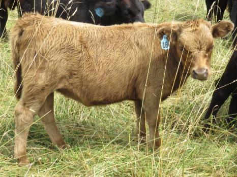 Heifer 18